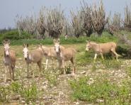 wilde ezels