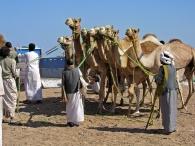 kamelenmarkt El Shalatin