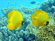 gele koraalvlinders