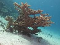 koraalboom