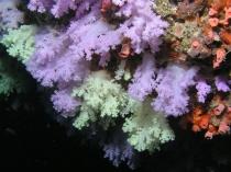 zachte koralen