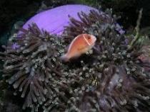anemoonvis